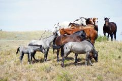 Дикие лошади улавливая ветерок стоковое изображение rf