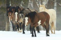 Дикие лошади Стоковые Изображения