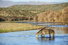 Дикие лошади Salt River Стоковые Изображения RF