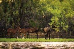 Дикие лошади Salt River Стоковые Фотографии RF