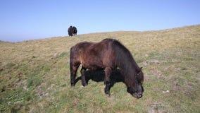 Дикие пони на горном склоне с голубым небом северным Корнуоллом сток-видео