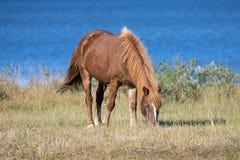 Дикие пони на острове Assateague стоковое фото