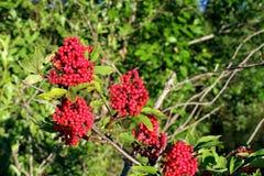 Дикие растения растя в их окружающей среде Природа лета в июле Стоковая Фотография