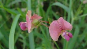 Дикие розовые нежные sylvestris lathyrus цветка стоковая фотография