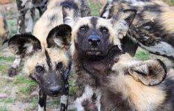 Дикие собаки на игре стоковые фотографии rf