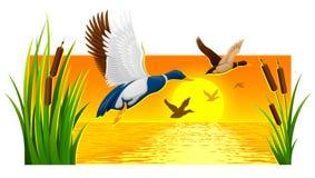 Дикие утки витая от тростников на озере Стоковое Фото
