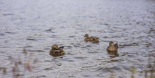 Дикие утки, вода, внешняя, фунт стоковая фотография rf