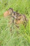 Дикие утки в Flims Laax стоковые фото