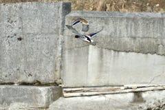 Дикие утки делают посадку и летают вверх над рекой в зиме Стоковое фото RF