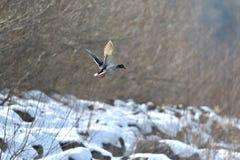 Дикие утки делают посадку и летают вверх над рекой в зиме Стоковое Фото