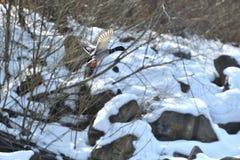 Дикие утки делают посадку и летают вверх над рекой в зиме Стоковое Изображение