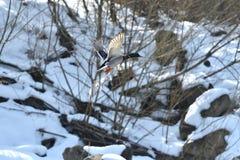Дикие утки делают посадку и летают вверх над рекой в зиме Стоковые Фото