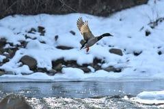 Дикие утки делают посадку и летают вверх над рекой в зиме Стоковые Фотографии RF