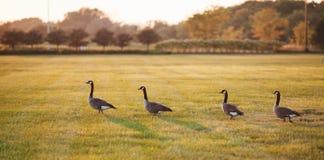 Дикие утки идя на траву Стоковое Фото