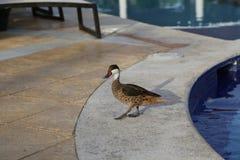 Дикие утки на бассейне в Доминиканской Республике стоковая фотография rf