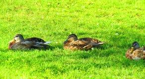 Дикие утки на зеленой траве, Литве Стоковое Изображение