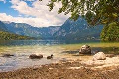 Дикие утки на озере горы Стоковые Изображения RF