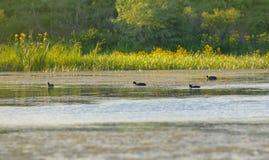 Дикие утки на озере Стоковая Фотография RF