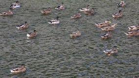 Дикие утки на реке акции видеоматериалы