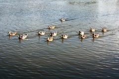 Дикие утки на цистерне с водой Стоковое фото RF