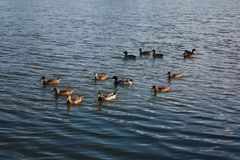 Дикие утки на цистерне с водой Стоковые Фотографии RF