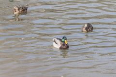 Дикие утки плавают в пруде стоковые изображения rf