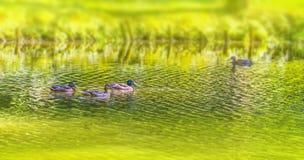 Дикие утки плавая в пруде стоковая фотография