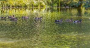Дикие утки плавая в пруде стоковые изображения rf