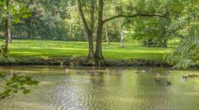 Дикие утки плавая в пруде стоковые фотографии rf