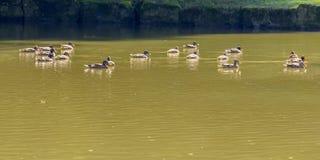 Дикие утки плавая в пруде стоковые фото