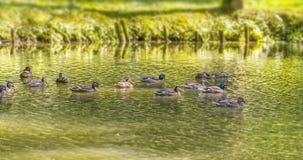 Дикие утки плавая в пруде стоковое изображение rf