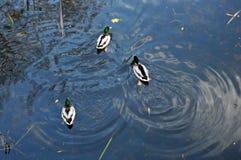 Дикие утки плавая и делая круги на воде Стоковые Фотографии RF