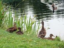 Дикие утки приближают к озеру, Литве Стоковое Изображение
