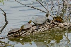 Дикие черепахи загорая на журнале дерева стоковые фотографии rf