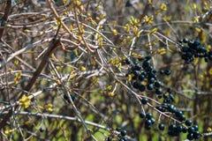 Дикие черные ягоды на декоративном кусте стоковое изображение rf