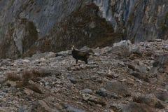 Дикие шамуа/коза горы в Австрии стоковые фотографии rf