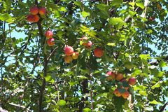 Дикие яблоки, очень кислые стоковые фотографии rf
