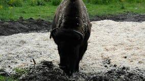 Дикий бизон в природе видеоматериал