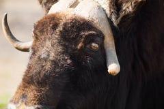 Дикий вол мускуса в природе Живая природа больших животных Яки стоковое фото