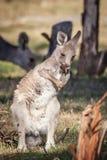 Дикий восточный серый кенгуру Joey, полесья паркует, Виктория, Австралия, ноябрь 2018 стоковые фото