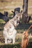 Дикий восточный серый кенгуру Joey, полесья паркует, Виктория, Австралия, ноябрь 2018 стоковое изображение rf