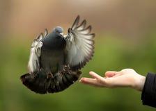 Дикий голубь (Columba Livia) Стоковые Фото