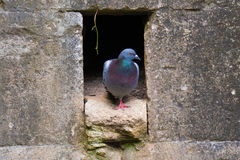 Дикий голубь & x28; Columba Livia & x29; вытекать от отверстия гнезда в стене Стоковое фото RF