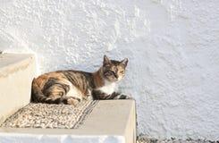 Дикий греческий кот Стоковое Фото