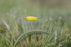 Дикий желтый бутон тюльпана предусматриванный с падениями росы стоковая фотография rf