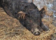 Дикий кабан дикой свиньи Стоковое Изображение