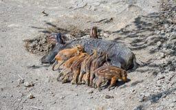 Дикий кабан и их поросенок Стоковая Фотография RF