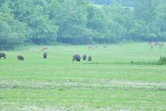 Дикий кабан и олени живой природы совместно пася на medow стоковое изображение rf