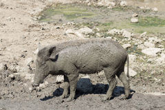 Дикий кабан младенца на поле грязи Стоковое Изображение