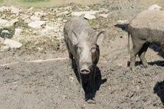 Дикий кабан младенца на поле грязи Стоковые Изображения RF